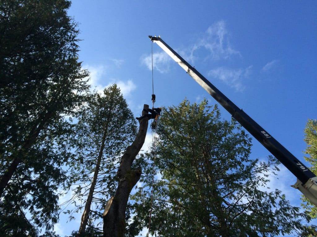 Crane removal of large Maple tree. Similar to grand fir this maple tree's roots were damaged during excavation process. Tree roots are important to think about when digging. Trees have feeder roots that extend 3 times the diameter of the canopy!