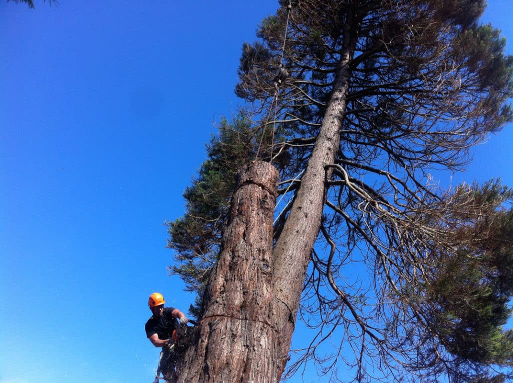Poor genetics caused this tree to require removal. A large Sequoia with multiple tops was removed due to the inherent weak attachment of the two stems. This tree was 8' from two houses.