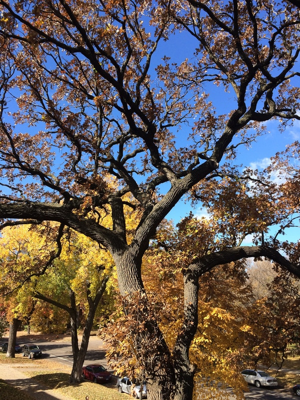 This image was taken of a heritage Bur Oak tree in the Twin Cities. Conor was flown out to do an aerial inspection and crown analysis of these two beautiful specimens. Consultation and recommendations for rehabilitation were given in a consultation report for the HOA.
