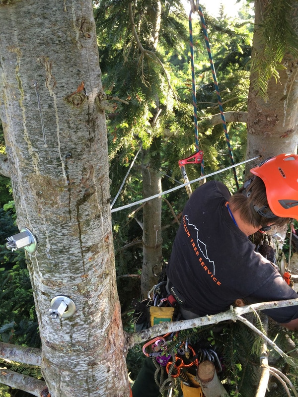 This is another shot from the Grand Fir cabling job. you can get a sense of the complexity of the installation from this view.