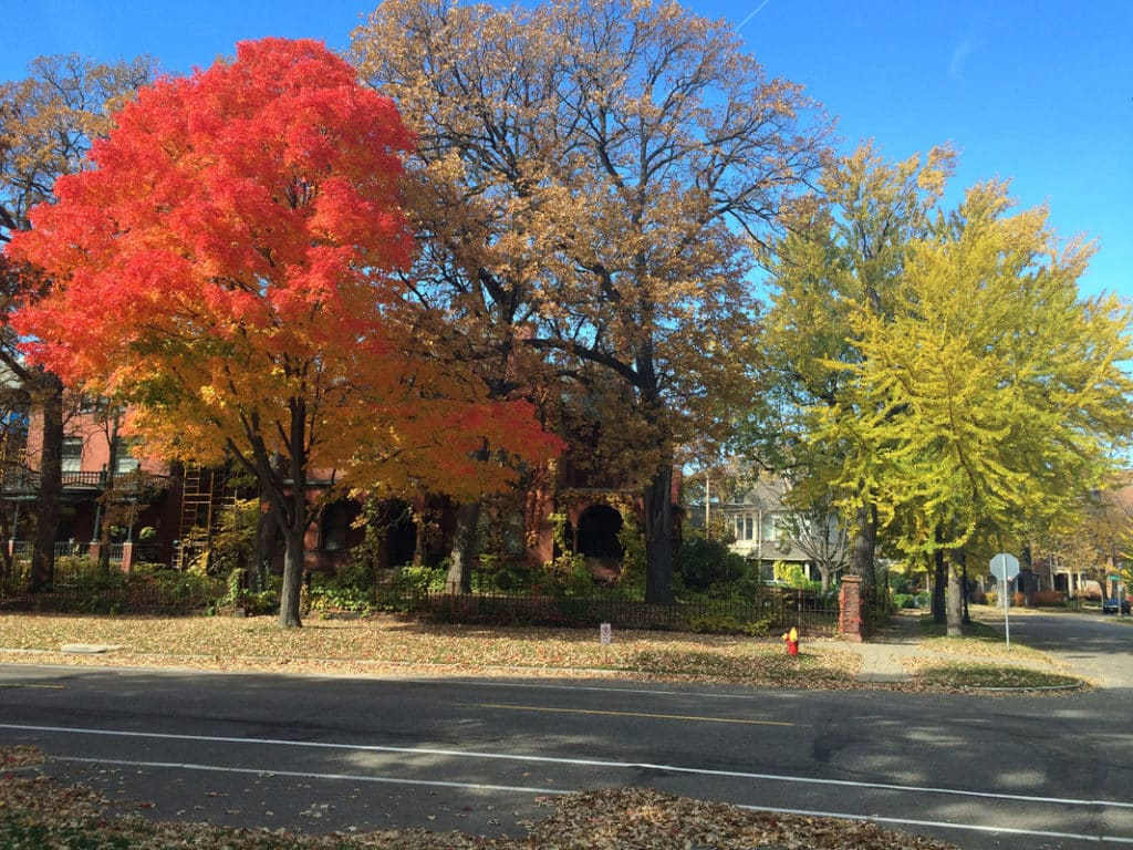 Beautiful fall color in the Twin Cities! What a beautiful day - the City of St Paul does an excellent job of hiring ISA Certified Arborist's to do their work. Trees are an asset and should be cared for by a professional!